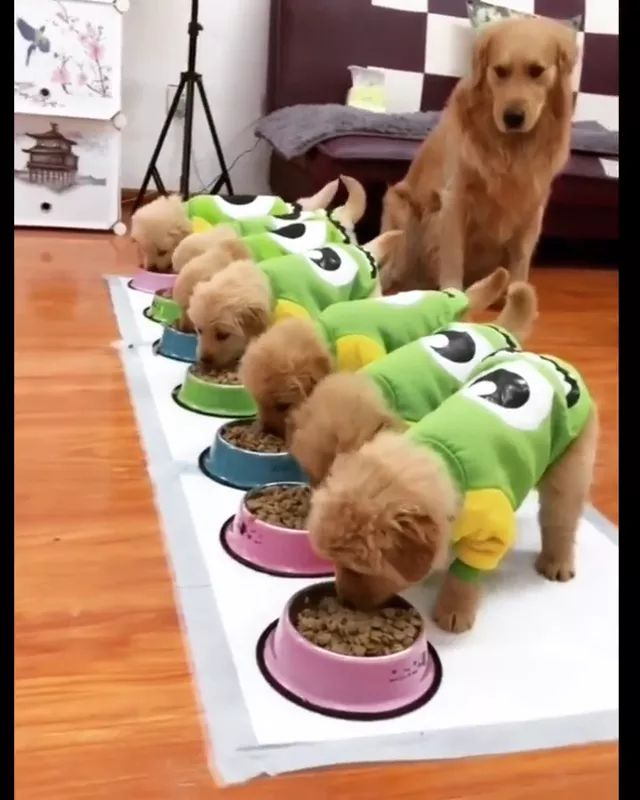 Smart mother dog opens door for puppies to eat - Video & GIFs | mother dog, smart, open, give, puppy, eat, dog food