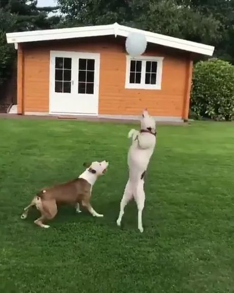 Dogs playing with bubble in their yard
