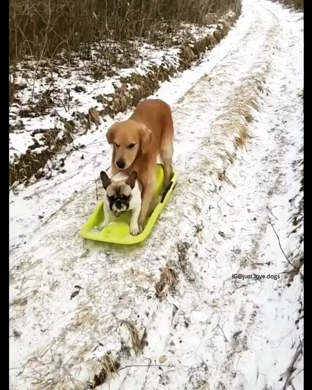 In winter forest, two ski dogs with plastic sheets on the steep road