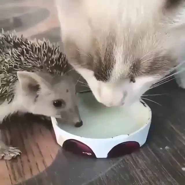 Cat and porcupine that drink milk look friendly