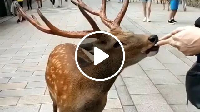 Deer Is Friendly When Tourists Give Food - Video & GIFs | deer, very friendly, tourists, food, Japan travel