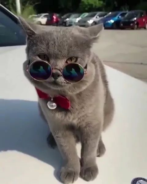 Wearing sunglasses, cats sitting in luxury cars look cool