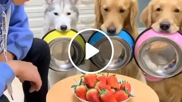 Dogs Together Eat Strawberries - Video & GIFs   dogs, adorable, together, eating, strawberries, wooden floors, dining tables, plastic cabinets