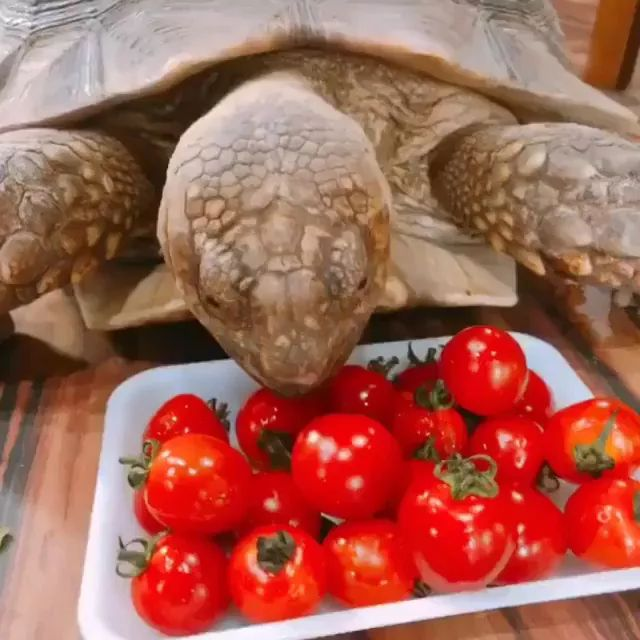 Animals love to eat tomatoes