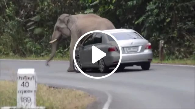 elephant wants to play with luxury cars on the road