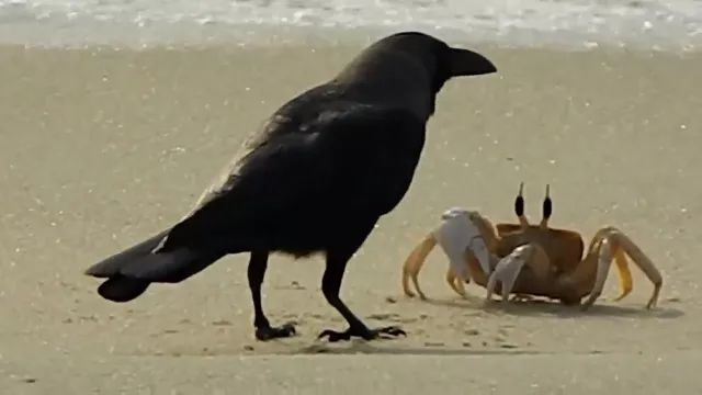 Crows play with crab on the beach