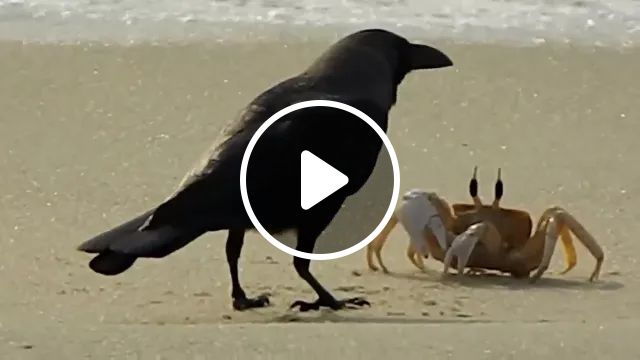 Crows play with crab on the beach, Smart crows, sea crabs, sea travel
