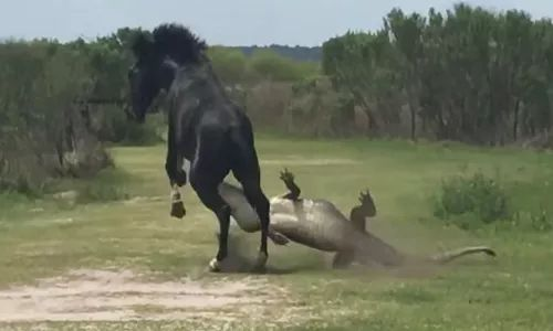 Crocodile attack horse