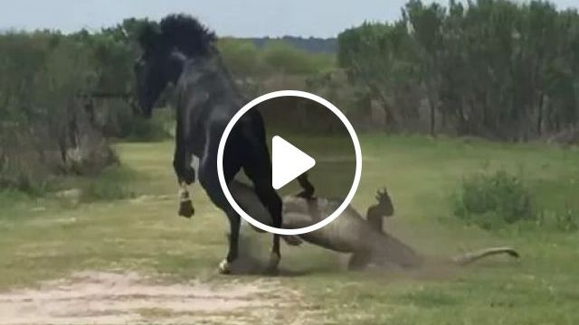Crocodile attack horse, smart crocodile, black horse, wildlife, africa travel
