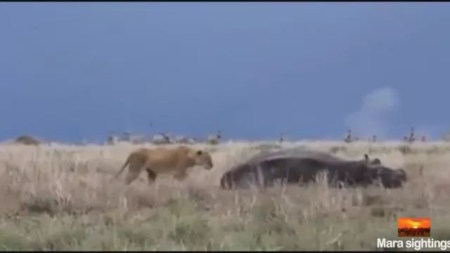 Lions are bothering hippos in African deserts