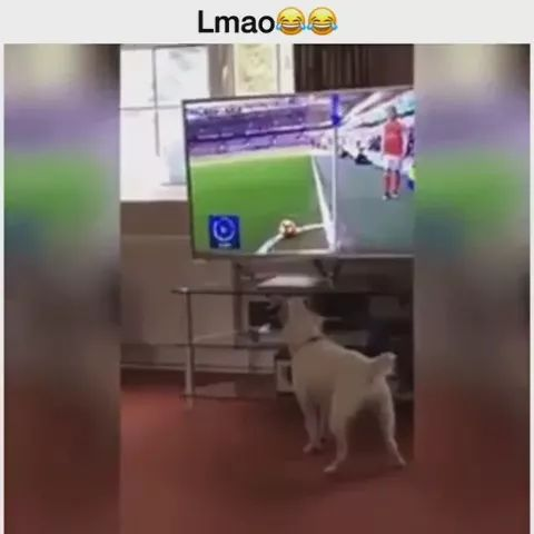 dog is watching a football game on the big screen TV