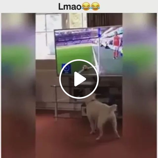 dog is watching a football game on the big screen TV, dogs, football, television, excited, animals, pets