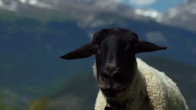 voice of sheep