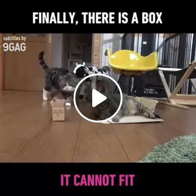 Cat Tries To Stay In A Carton Box, In Living Room - Video & GIFs | cats, animals, pets, carton boxes, living room, living room furniture, luxurious furniture