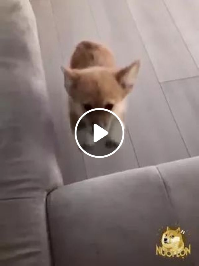 Short-legged Puppy Cannot Jump On Sofa - Video & GIFs   puppy, short legs, impossible, jumping, sofa, adorable, wooden floor