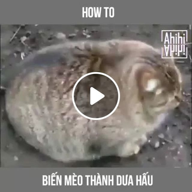 Cat Is Too Fat And Need To Lose Weight Fast - Video & GIFs | Fat cat, adorable, animals, pets, fast weight loss