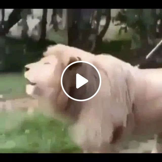 Lion singing in zoo