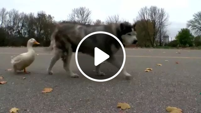 dog and duck are friends, dog, adorable, duck, very friendly, walking, street, togethe