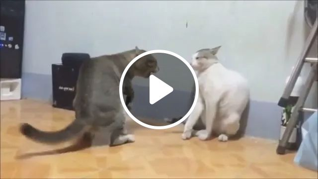 Together cats exercise weight loss to protect health, cats, animals, pets, together, exercise, weight loss, health protection
