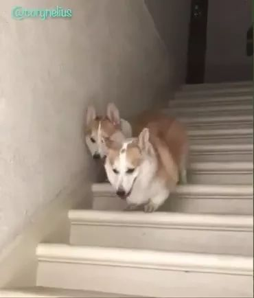 Two short-legged dogs go downstairs