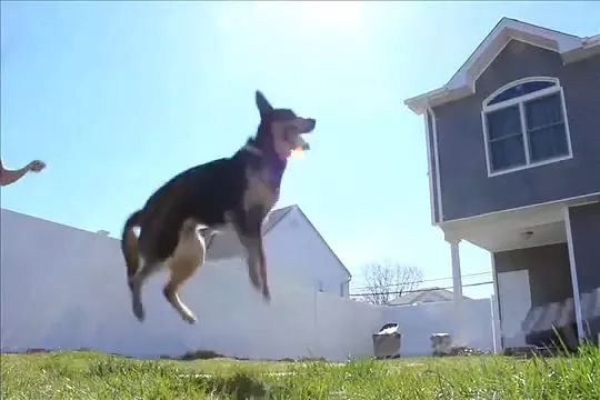 dog loves to jump rope, jumping rope is good for health