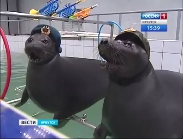 Funny seals in pool