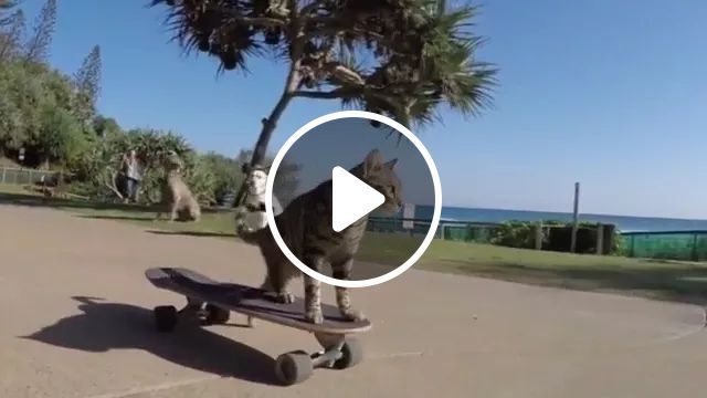 During tour, skateboarding cats go on the coast, tours, American travel, cats, animals, pets, skateboarding, on the beach, resorts
