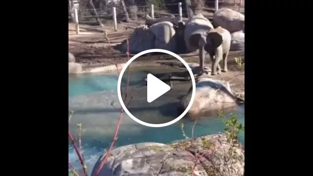 Geese play with elephants in American zoo