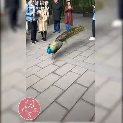 tourists are happy to meet colorful peacock