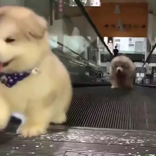 Two puppies are trying to run up escalator in supermarket