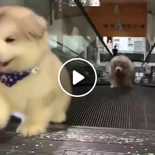 Two puppies are trying to run up escalator in supermarket, Puppy, trying, running up, escalator, supermarket, commercial center