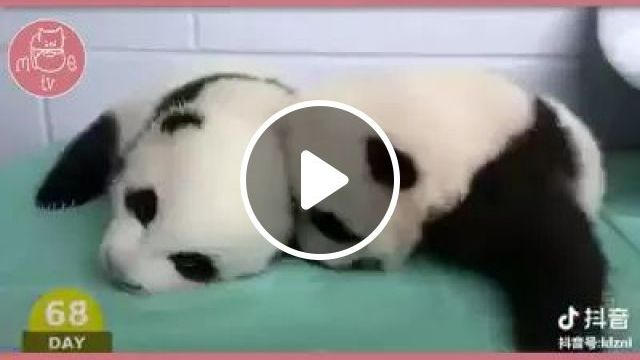 pandas are cared for in pet care center, Kids panda, animals, pets, care, pet care center, health