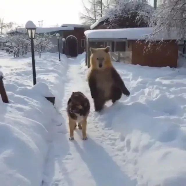 on the snowy road, bear followed dog to look friendly.