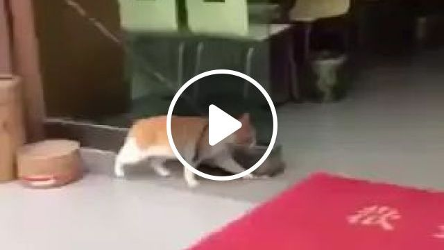 Cat Floats In Front Of Restaurant - Video & GIFs | Lovely cat, golden cat, funny animals, pets, restaurant doors, fast food