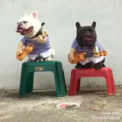 Two lovely dogs sit on plastic chairs performing guitar