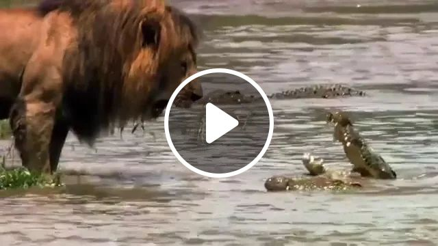 At river bank, crocodiles are very frightened when lions approach