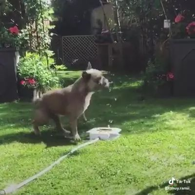 Smart puppy drinks water from automatic tap