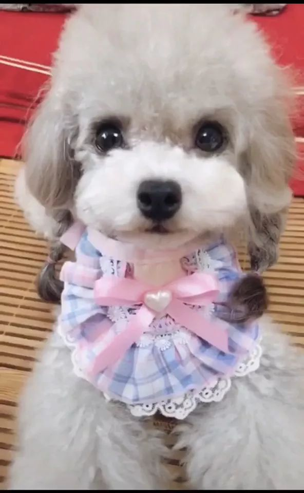 Lovely puppies in pet clothes