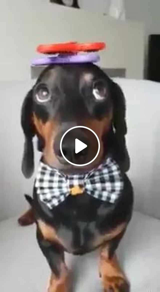 Sitting On The Sofa, Toy Is Spinning On The Dog's Head - Video & GIFs   sofas, luxury chairs, toys, spinning, dogs, animals, pets