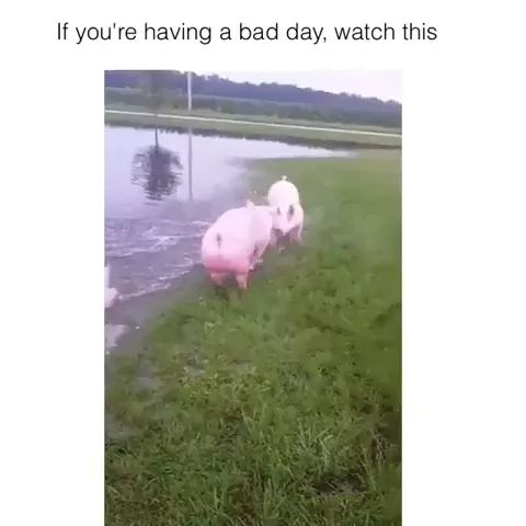 IF you having a bad day... - Video & GIFs   Smart pig, lake, animal friendly