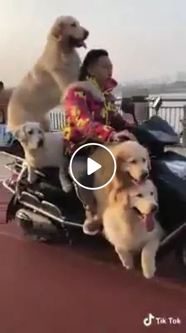 Man Driving Speed Motorbike Very Slowly Carrying Walking Dogs - Video & GIFs   dogs, motorcycles, streets, performances