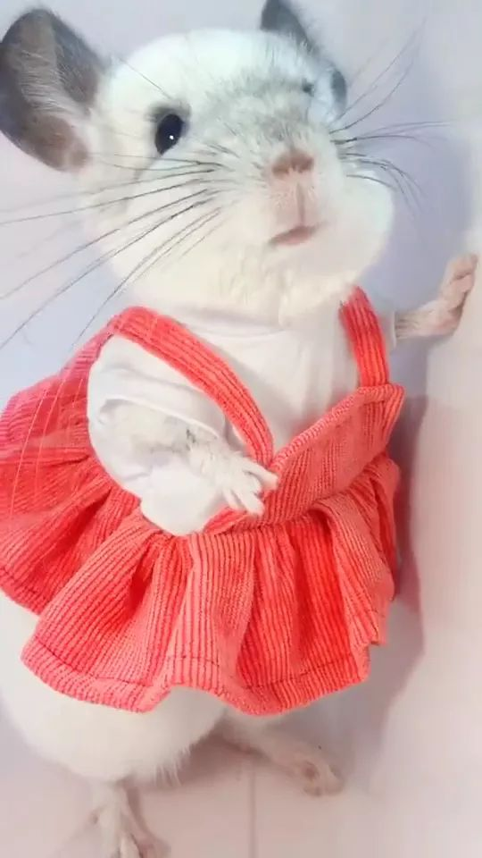 mouse with pet clothes is very beautiful