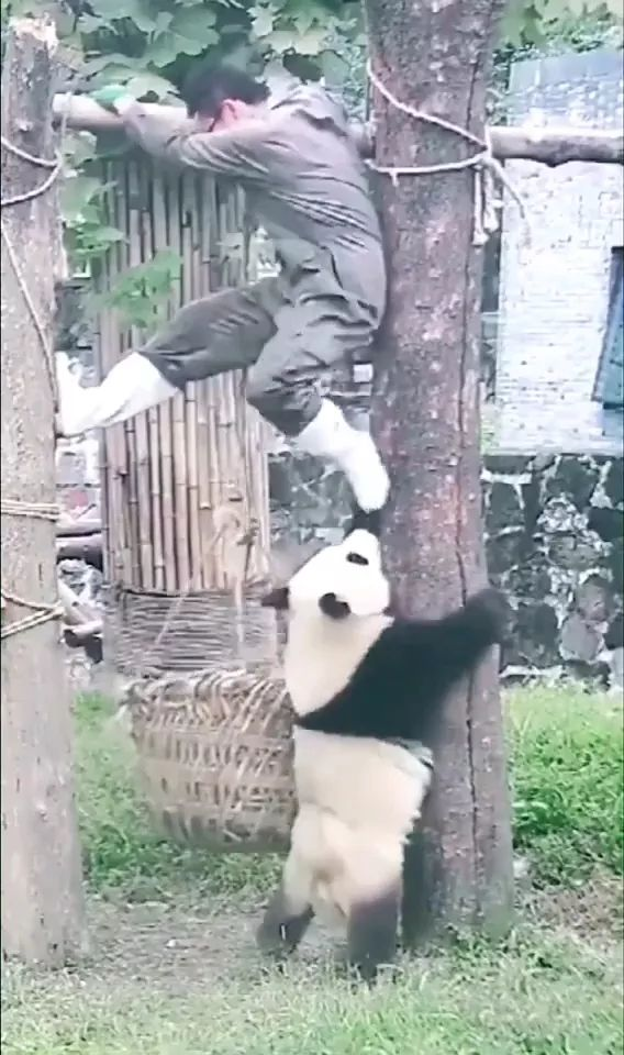 Panda like to play with zoo staff in China