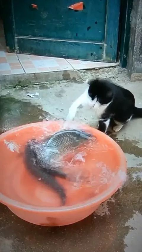 Cats play with two fish - Video & GIFs | River fish, plastic tank, friendly animals, pets