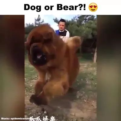 Giant dog is friendly