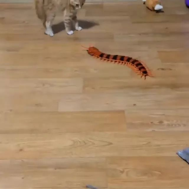 Kitten playing with toy centipede