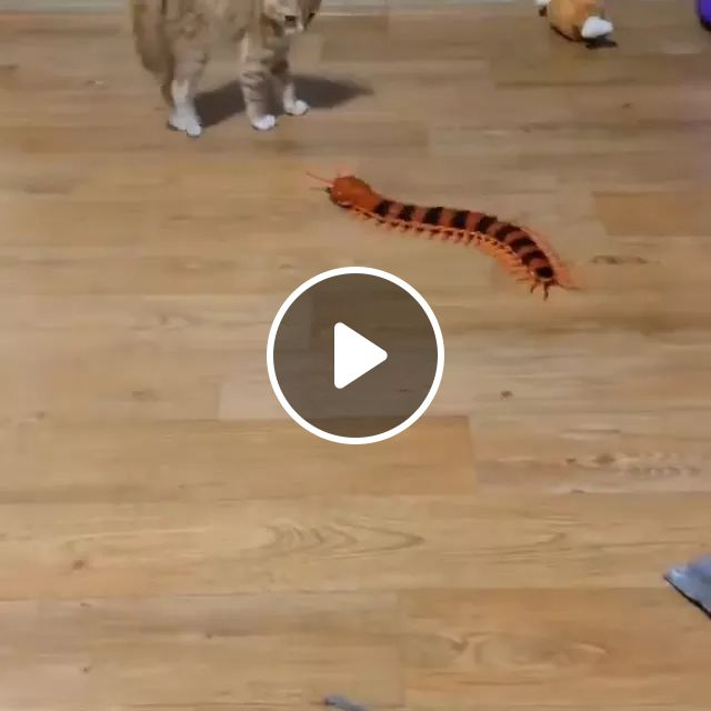 Kitten playing with toy centipede, cat, centipede, toys, play