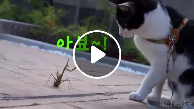 Cat Play With Mantis Very Fun - Video & GIFs | cat, adorable, play, mantis, friendly, pet