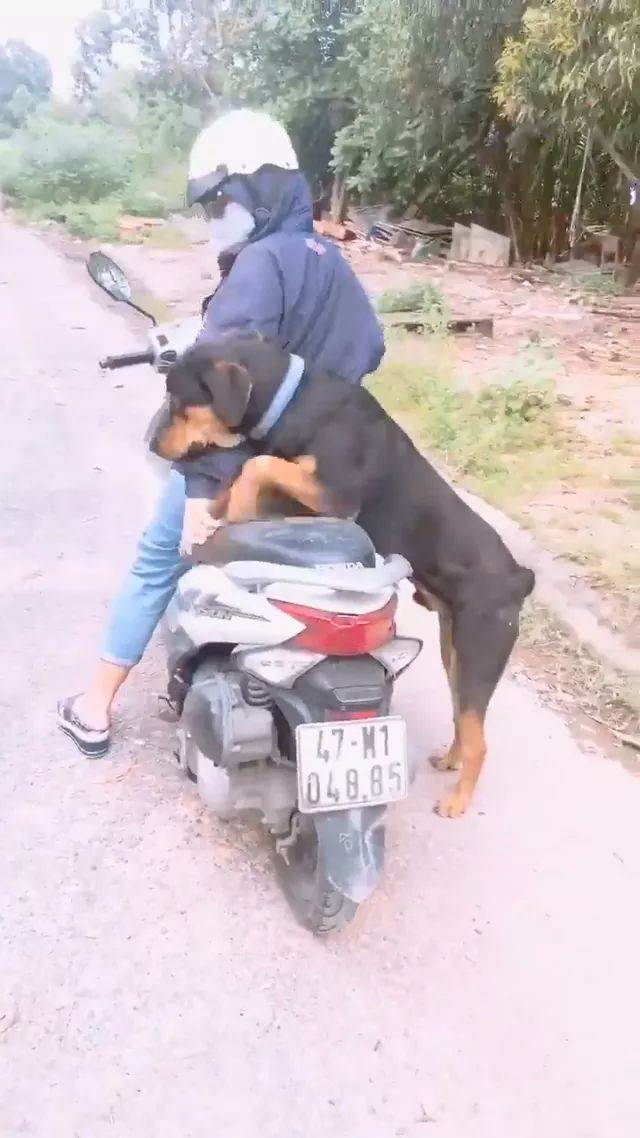 dog wants to sit on her motorbike
