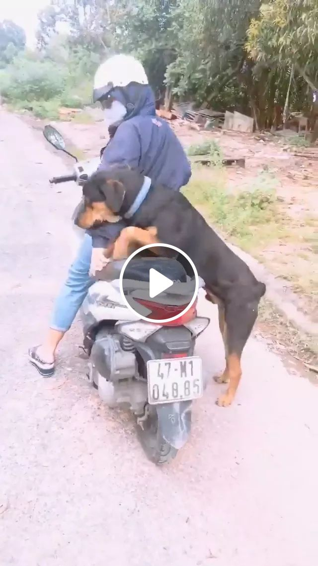 Dog Wants To Sit On Her Motorbike - Video & GIFs | Black dogs, smart dogs, motorcycles, Vietnamese streets, funny animals, pets